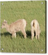 Two Ewes In The Badlands Acrylic Print