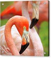 Two Flamingoes Acrylic Print by Carlos Caetano