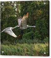 Two Florida Sandhill Cranes In Flight Acrylic Print