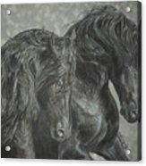 Two Friesian Stallions Acrylic Print