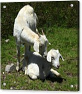 Two Goats In A Pasture Acrylic Print