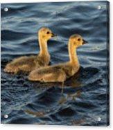 Two Goslings Acrylic Print