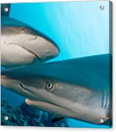 Two Gray Reef Sharks Acrylic Print by Dave Fleetham - Printscapes