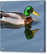 Two Headed Duck Acrylic Print