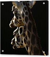Two Headed Giraffe Acrylic Print