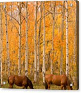Two Horses Grazing In The Autumn Air Acrylic Print
