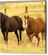 Two Horses In A Field Acrylic Print