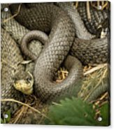 Two Intertwined Grass Snakes Lying In The Sun Acrylic Print
