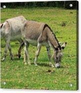 Two Jerusalem Donkeys In A Field Acrylic Print