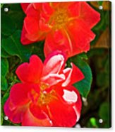 Two Joseph's Coat Roses At Pilgrim Place In Claremont-california Acrylic Print