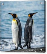 Two King Penguins Facing In Opposite Directions Acrylic Print