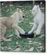 Two Lion Cubs Playing Acrylic Print