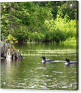 Two Loons Near Old Stump Acrylic Print
