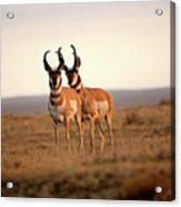 Two Male Pronghorn Antelopes In Alberta Acrylic Print