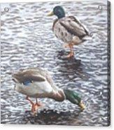 Two Mallard Ducks Standing In Water Acrylic Print