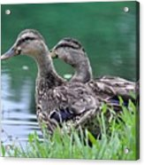 Two Mallards Acrylic Print