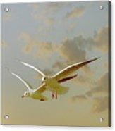 Two Mediterranean Gulls In Flight Acrylic Print
