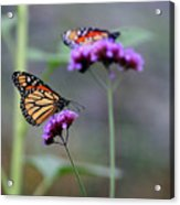 Two Monarchs On Verbena Acrylic Print