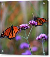Two Monarchs Sharing 2011 Acrylic Print