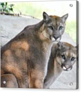 Two Mountain Lions Acrylic Print