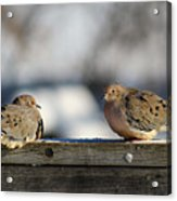 Two Mourning Doves Acrylic Print
