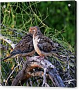 Two Mourning Doves H14 Acrylic Print