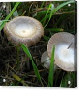 Two Mushrooms In Grass Acrylic Print