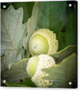 Two Oak Acorns Acrylic Print