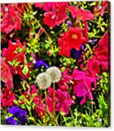 Two Of Dandelion. Floral Carpet. Acrylic Print