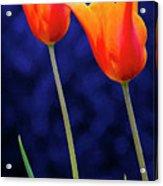 Two Orange Tulips On Blue Acrylic Print