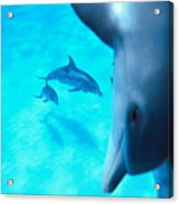 Two Pairs Of Dolphins Acrylic Print