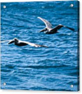 Two Pelicans Flying Acrylic Print