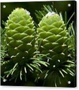 Two Pinecones Acrylic Print
