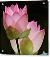 Two Pink Lotus Acrylic Print