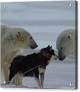 Two Polar Bears Ursus Maritimus Acrylic Print by Norbert Rosing