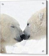 Two Polar Bears Ursus Maritimus Acrylic Print