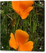 Two Poppies Acrylic Print