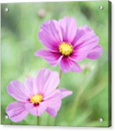 Two Purple Cosmos Flowers Acrylic Print