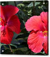 Two Red Hibiscus With Border Acrylic Print