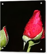 Two Red Rosebuds Acrylic Print