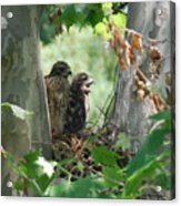 Two Red Shouldered Hawk Chicks Calling Mom  Acrylic Print