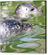 Two Seal Swimming Nature Scene Acrylic Print
