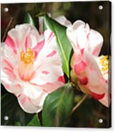 Two Striped Camellias Acrylic Print