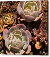 Two Succulents  Acrylic Print