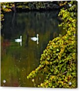 Two Swans Acrylic Print