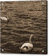 Two Swans Acrylic Print