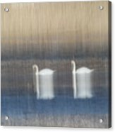 Two Swans In Movement Acrylic Print