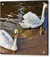 Two Swans On Spring Water Acrylic Print