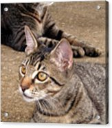 Two Tabby Cats Acrylic Print