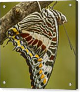 Two Tailed Pasha Butterfly Acrylic Print